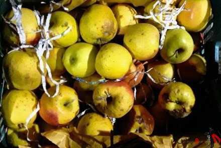 40 هزار تن سیب در سردخانههای آذربایجانغربی فاسد شد.